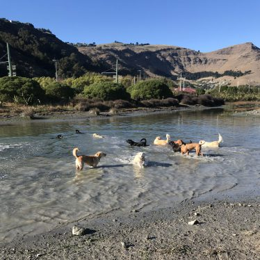 dogs-playing